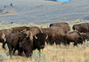 BP-2017.9.14#3614.5X. Plains Bison. Yellowstone Park Wyoming.