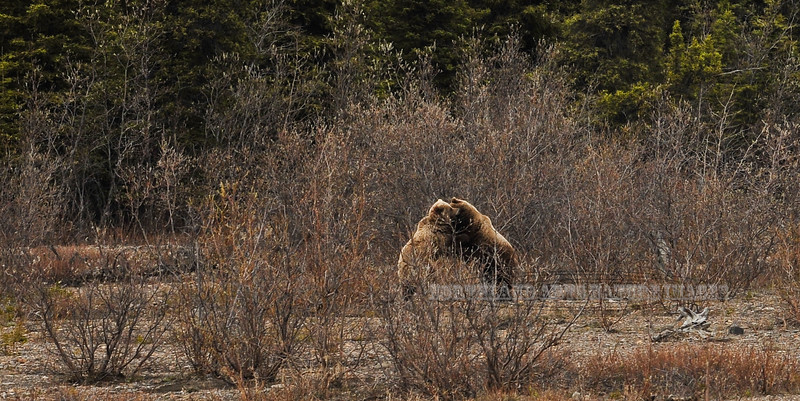 BG-2012.5.27#047. A very large interior boar Grizzly with a sow coming close to estrus. Teklanika river, Denali Park Alaska.