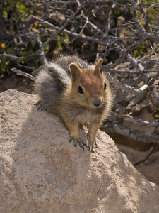 Chipmunk (technically a Golden Mantled Ground Squirrel) on trail to Bumpass Hell