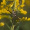 One of many Golden Garden Spiders.