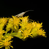 I spotted this tiny moth on Goldenrod. Much smaller than a single bloom, it first appeared to be simply a small piece of grass.