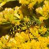 Locust Borer.