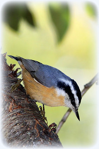 Red-breasted Nuthatch (m)