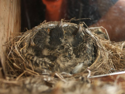 June 6, 2012 Four young Robins hoping they can't be seen. Taken with the aid of a mirror.