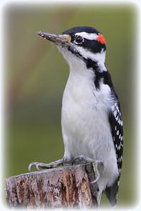 Hairy Woodpecker (m)