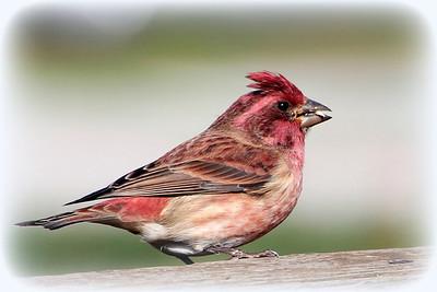 Purple Finch (m)