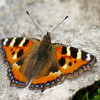 Small Tortoiseshell - Olympus E-M1, Zuiko 70-300mm, 1/320 sec at f6.3, ISO 200