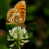 Meadow Fritillary - Olympus E-M1, Zuiko 70-300mm, FL600r, 1/1250 sec at f8, ISO 200