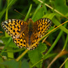 Dark Green Fritillary (f) - Olympus E-M1, Zuiko 70-300mm, 1/400 sec at f6.3, ISO 200