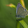 Provencal Short-tailed Blue - Olympus E-M1, Zuiko 70-300mm, FL600r, 1/1000 sec at f8, ISO 200