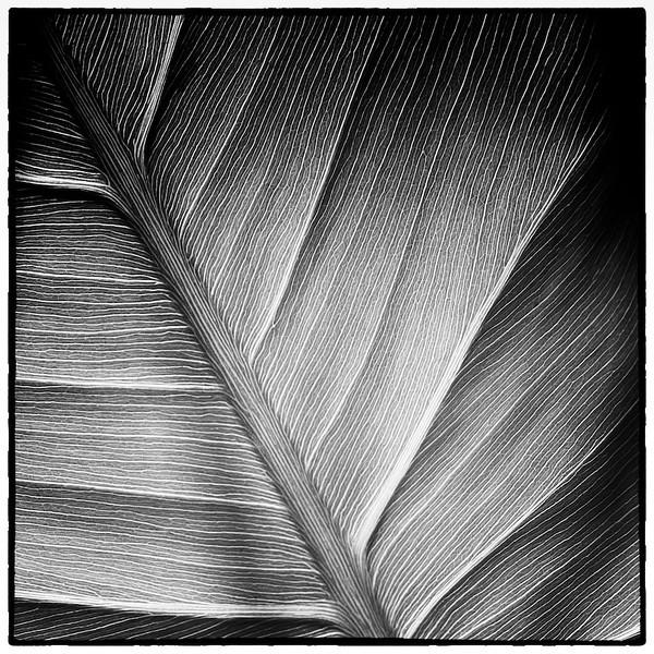 Variation 8 pickerelweed leaf
