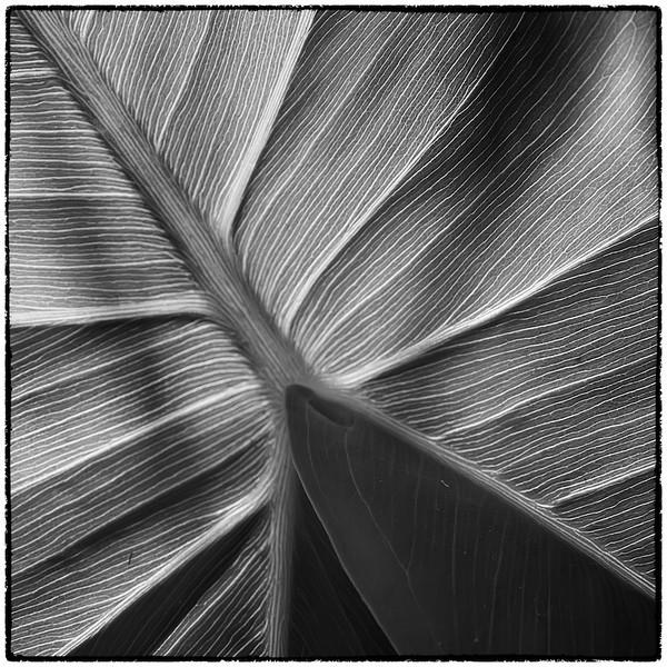 Variation 9 pickerelweed leaf