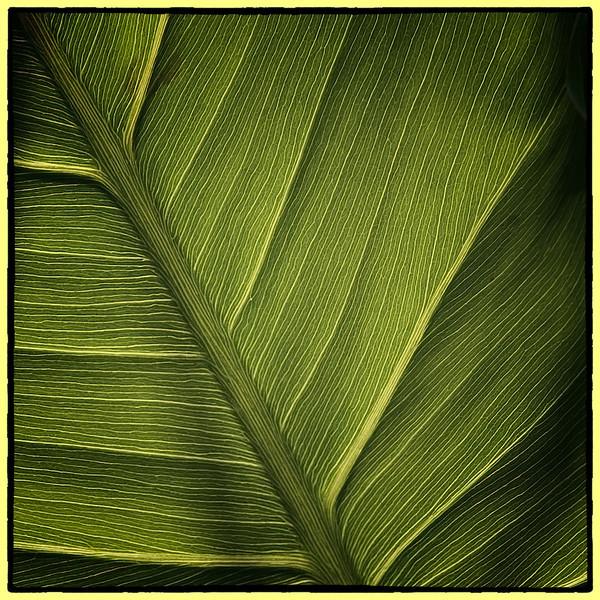 Variation 2 pickerelweed leaf