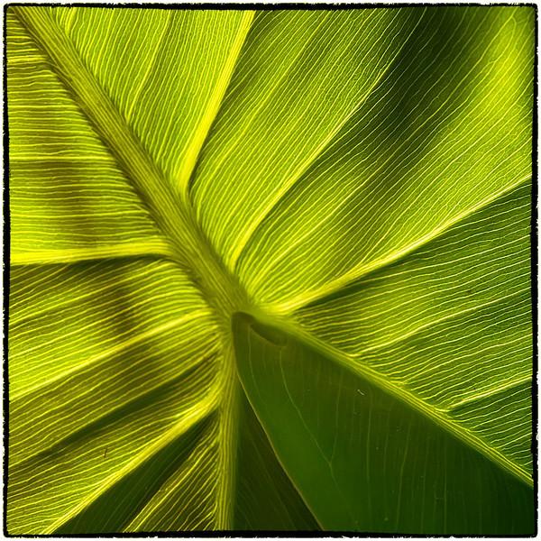 Variation 7 pickerelweed leaf