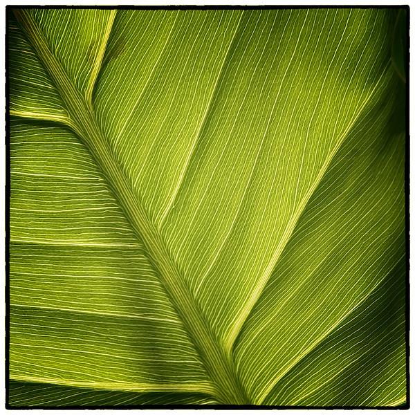 Variation 3 pickerelweed leaf