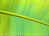 Banana Leaf painted copy