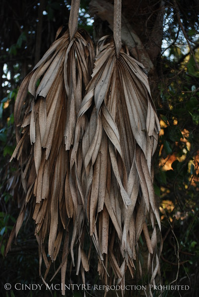 Dead Palm Leaves, S FL (4)