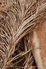 Dead palm leaves, Green Cay FL (4)