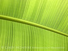 Banana Leaf copy