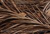 Dead palm leaves, Green Cay FL (12)