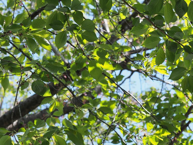 新緑の季節、一片の蕾。