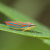 Red-banded Leafhopper Graphocephala coccinea