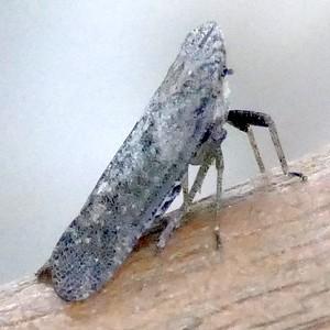 P170CyrpoptusSpPlanthopper230 Sep. 21, 2017 8:33 a.m. P1700230 This is a Cyrpoptus species planthopper at LBJ WC. Fulgorid.