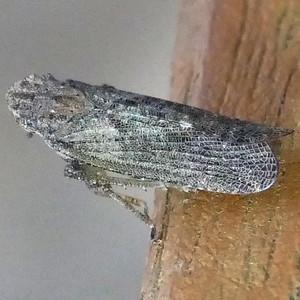P170CyrpoptusSpPlanthopper228 Sep. 21, 2017  8:32 a.m.  P1700228 This is a Cyrpoptus species planthopper at LBJ WC.  Fulgorid.
