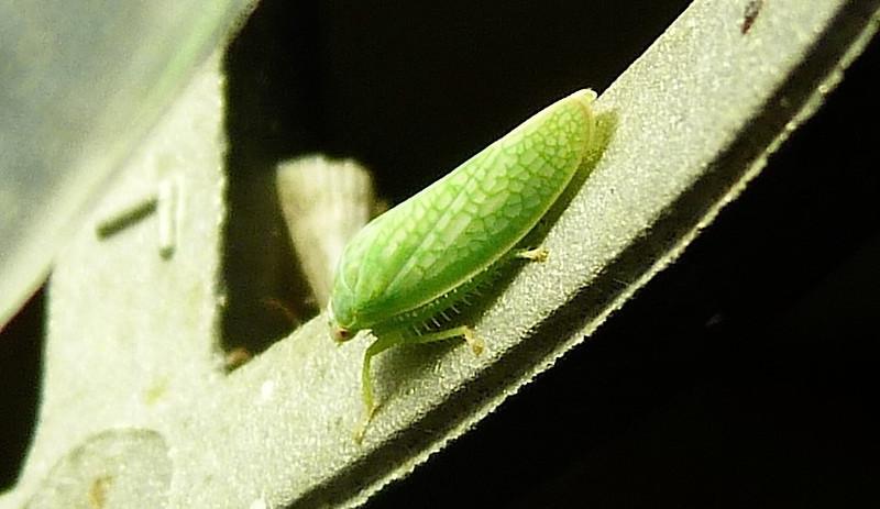 P118GyponanaSpLeafhopper906 Nov. 1, 2012  7:13 a.m.  P1180906 A closer look at a Gyponana species leafhopper at LBJ WC.