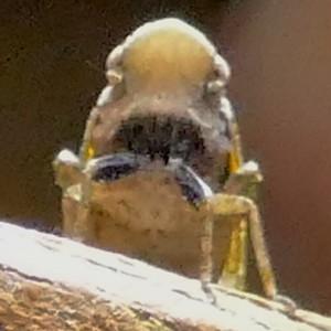 P170CyrpoptusSpPlanthopper222 Sep. 21, 2017 8:31 a.m. P1700222 This is a Cyrpoptus species planthopper at LBJ WC. Fulgorid.