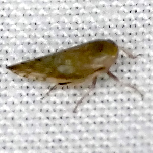 P183AcinopterusAngulatus943 Aug. 29, 2019  7:14 a.m.  P1830943 BG says this Acinopterus angulatus is a common SW species with very pointed wingtips.  Seen at LBJ WC.  Cicadellid.