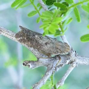 P152CyrpoptusSp737 Nov. 12. 2015  7:39 a.m.  P1520737 Here is a Cyrpoptus species Fulgorid Planthopper at LBJ WC.