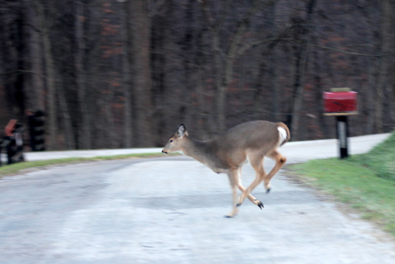 Crossing the road this morning and heading for a fence.