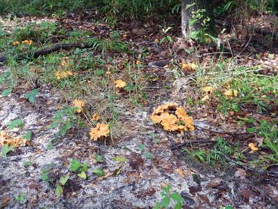 Bright Orange Mushrooms on the forest floor.