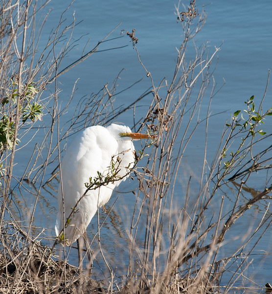 Great Egret on a cold day