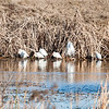 Little Blue Heron on the left, Many White Ibis, Two Great Egrets and two Snowy Egrets blending in.