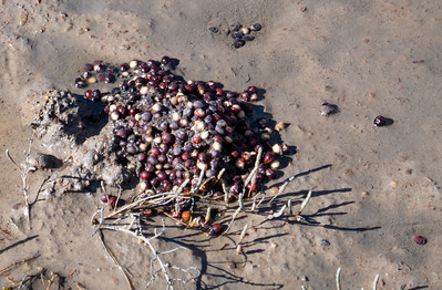 """Palmetto """"berries/seeds"""" give food to animals in teh winter."""