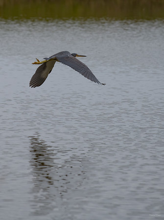 Tricolored Heron flies as the group approaches