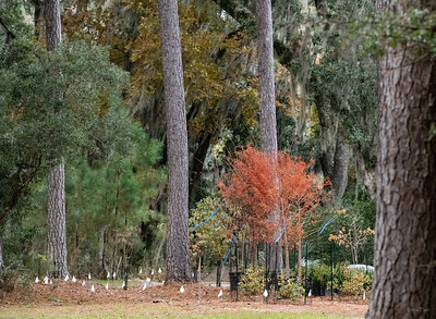 A Deciduous Bald Cypress sits in Leslie's yard, ready to plant.