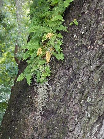 Resurrection fern and Spanish Moss