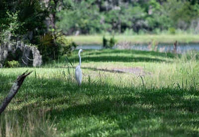 Great Egret standing in the shade.