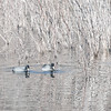 American Coots on a very cold winter day.