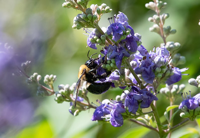 Bee helping to pollinate the Vitex Flower