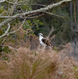 Osprey in the distance.  Flew off as I got closer.
