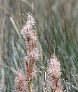 A grass gone to seed next to the Marsh.