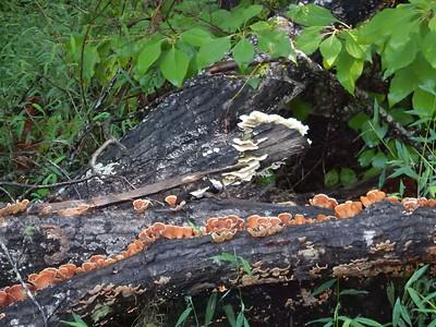 Fungus on a fallen tree.