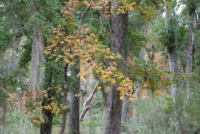 """Liquid Amber preparing for winter.  Also known as """"Sweet Gum"""""""