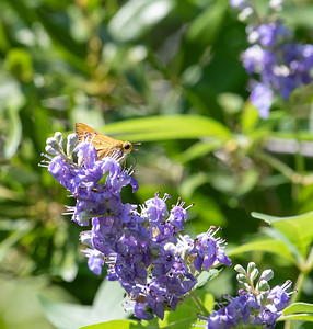 Grass Skipper on Vitex flower