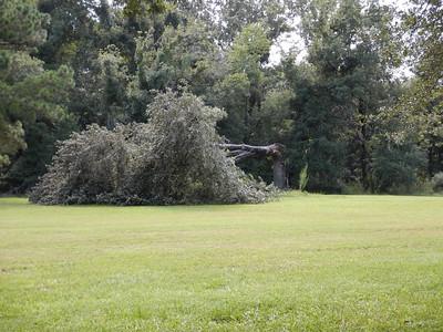 Oak Tree Down