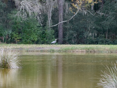 A Great Blue Heron... along the bank of Middle Pond.